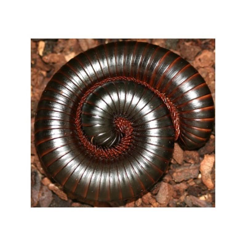 New Dispo : Coléoptères et Arthropodes 2918_thickbox_default