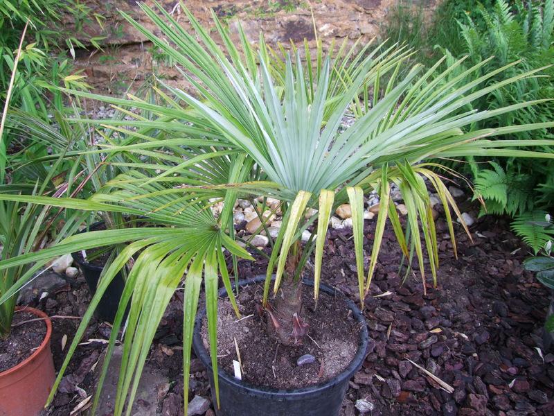 Trachycarpus a jeho hybridy (kříženci) DSCF5543