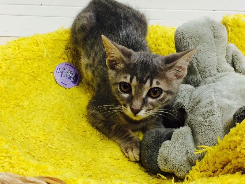Χαρίζονται γατάκια, η Σίλβερ και η Μερέντα Silver_2