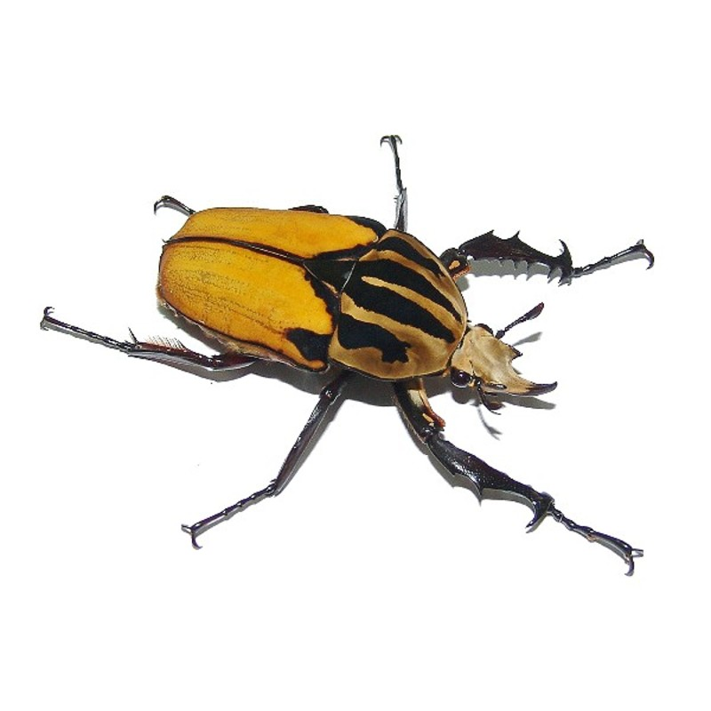 New Dispo : Coléoptères et Arthropodes 2882_thickbox_default