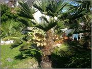 Trachycarpus fortunei var. Wagnerianus - Stránka 2 20150604_171340