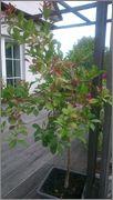 Určení druhu rostliny - Stránka 4 DSC_0171
