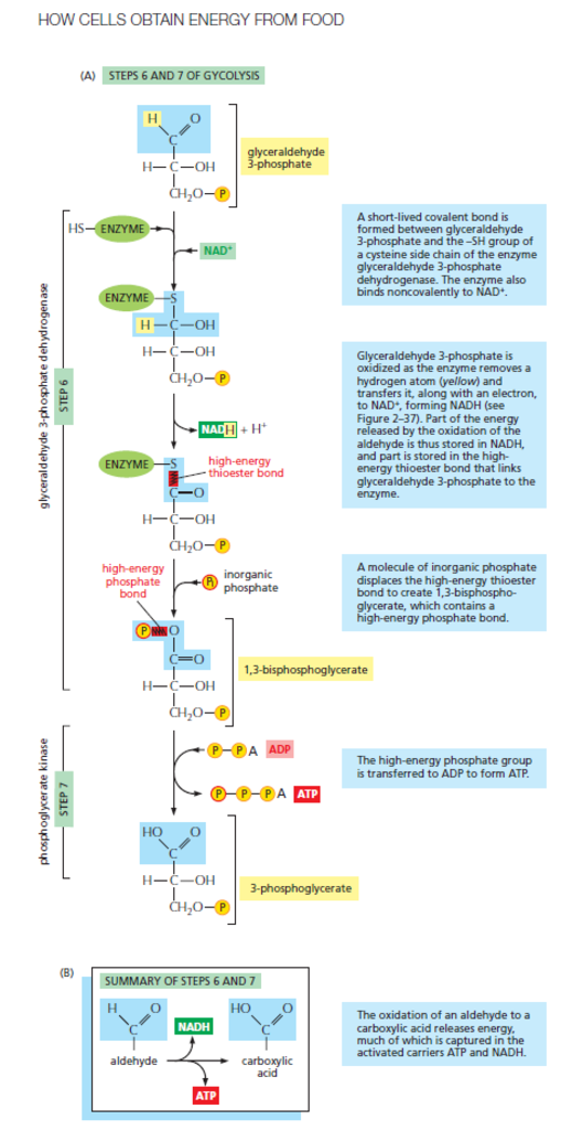 Glycolysis  How_cells_obtain_energy_from_food