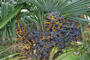 Trachycarpus fortunei, část 2 - Stránka 11 DSC_0028