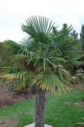 Trachycarpus fortunei, část 2 - Stránka 11 DSC_0031