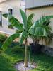 Obecně o banánovníkách