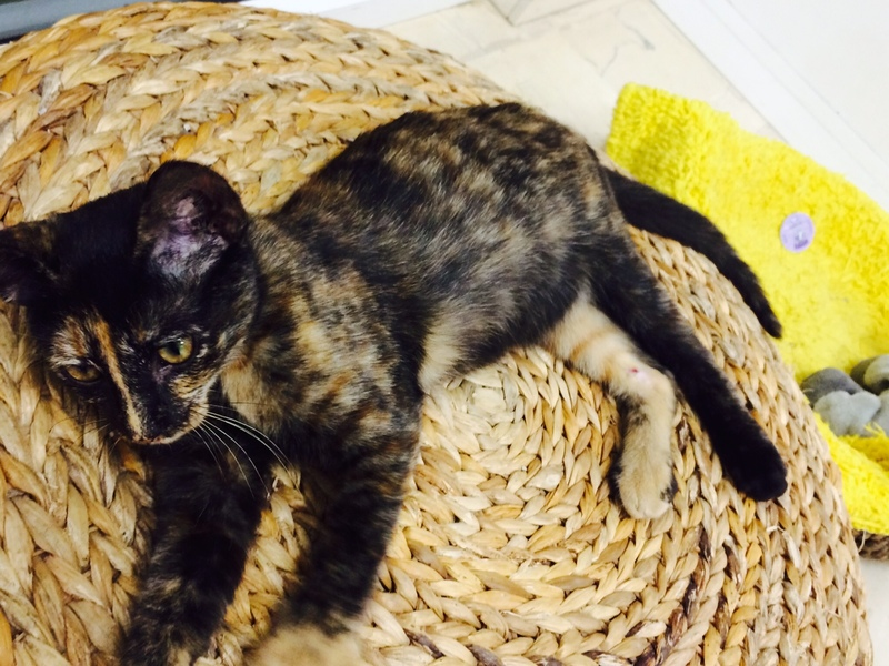 Χαρίζονται γατάκια, η Σίλβερ και η Μερέντα Merenda_4