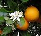 Citrusy (všechny rody)