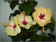 Hibiscus rosa sinensis - Pagina 16 DSC03936