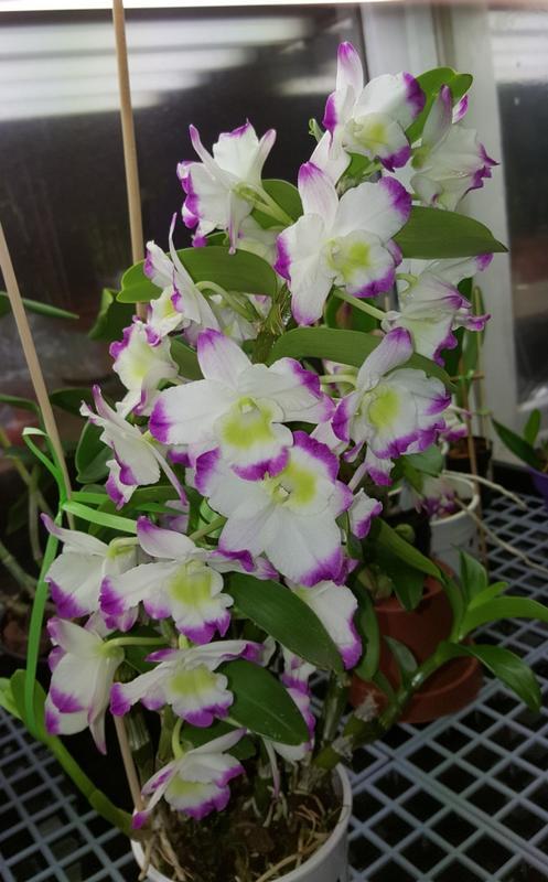 Orchideen 3 (fortlaufende Seiten 300 bis 400) - Seite 5 20180204_190053