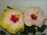 Hibiscus rosa sinensis - Pagina 16 DSC03864