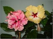 Hibiscus rosa sinensis - Pagina 16 DSC03927