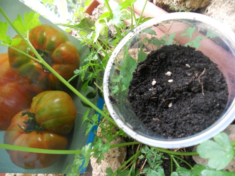 Forma sencilla de hacer los semilleros  para nuestro maceto huerto 012