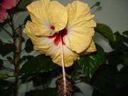 Hibiscus rosa sinensis - Pagina 16 DSC03919