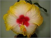 Hibiscus rosa sinensis - Pagina 16 DSC03846
