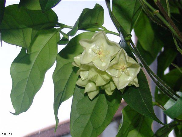 Hoyablüten 2011 - Seite 2 F617718b9cab