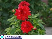 Георгины в цвету 110ce466b8fdt