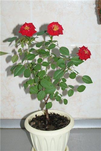 Розы в комнатной культуре - Страница 4 23c133e3a25d