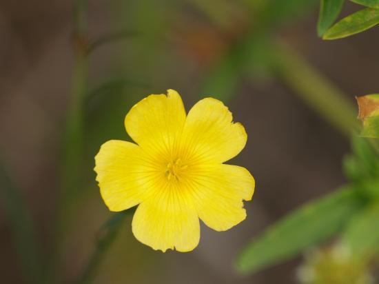 la fleur de Martin du 13 juin trouvée par Martine P1230917