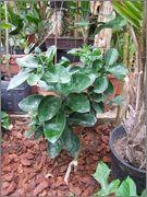 Pomela (Šedok) - Citrus grandis DSCF0044