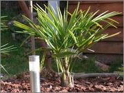 Variety Trachycarpusu fortunei DSCF9948