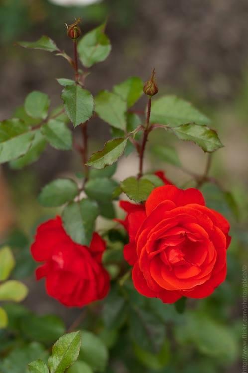 Crveno cveće - Page 6 10686602_856509774369092_3853019758326577822_n