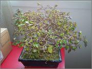 Mi primer bonsai, consejos DSC_0038