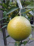 Pomerančovníky - Citrus sinensis - Stránka 4 2014_11_17_10_12_41