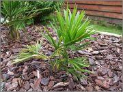 Variety Trachycarpusu fortunei DSCF1377