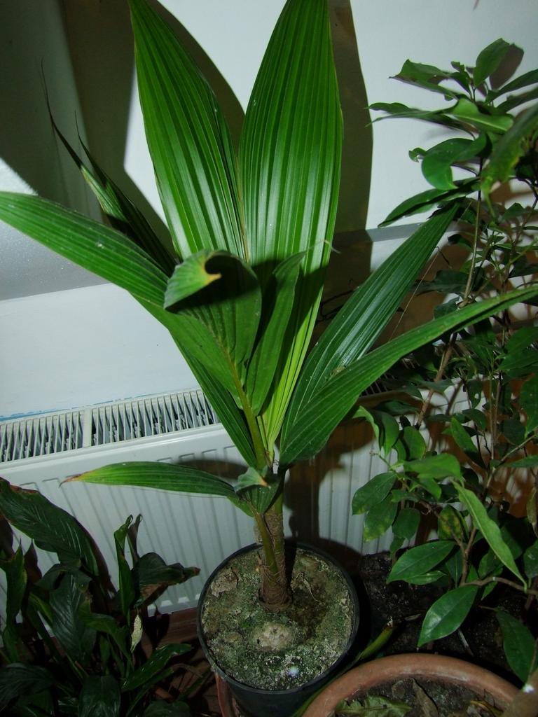 Cocos nucifera - Stránka 3 DSCF8121