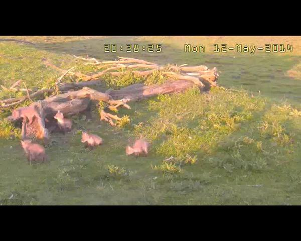 Fox Cam in the Netherlands 2014_05_12_6_young_foxes