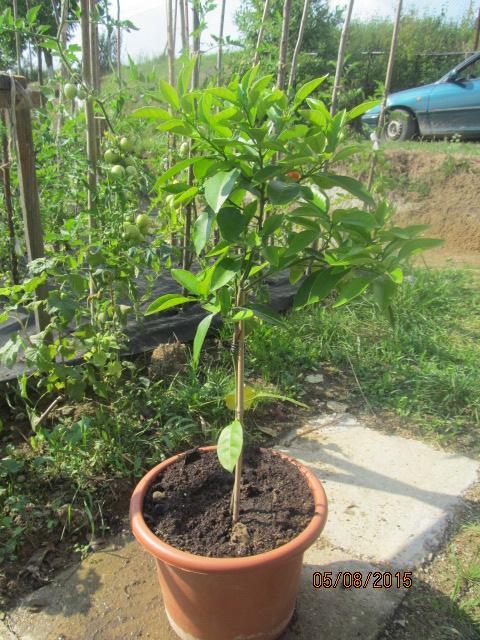 Grepfruity - Citrus paradisi IMG_1835