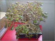 Mi primer bonsai, consejos DSC_0039