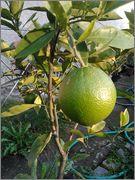 Pomerančovníky - Citrus sinensis - Stránka 3 2014_10_18_16_45_20