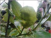 Citroníky - Citrus limon 2014_05_26_17_06_33