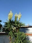 Mrazuodolné juky - rod Yucca - Stránka 11 P1100172