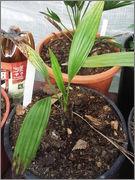 Trachycarpus latisectus DSCF3886