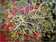 Mi primer bonsai, consejos DSC_0040