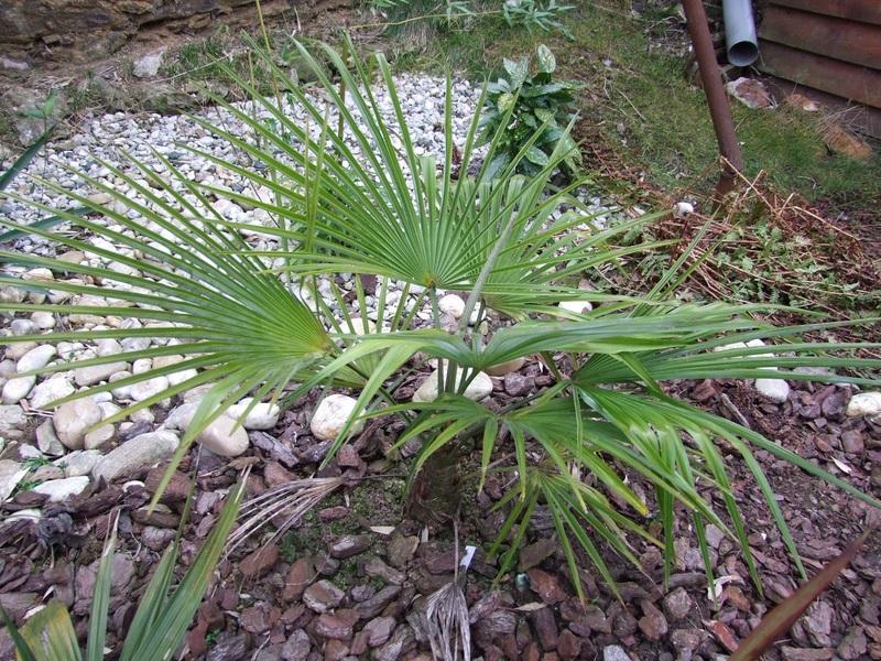 Trachycarpus a jeho hybridy (kříženci) DSCF4568