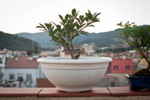 Nueva adquisición, Ficus Retusa Thump_9285182ficus-retusa