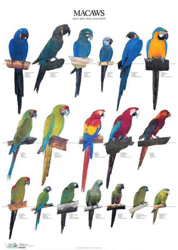 Ara papagaji Vrste_ara