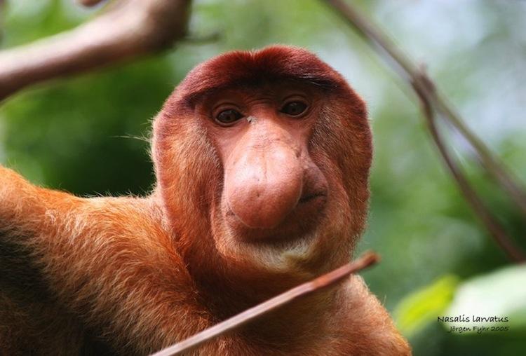 The MOJÖ FUN Proboscis monkey: A walkaround by Kikimalou IMG_5618_Nasalis_larvatus_Proboscis_monkey_web.j