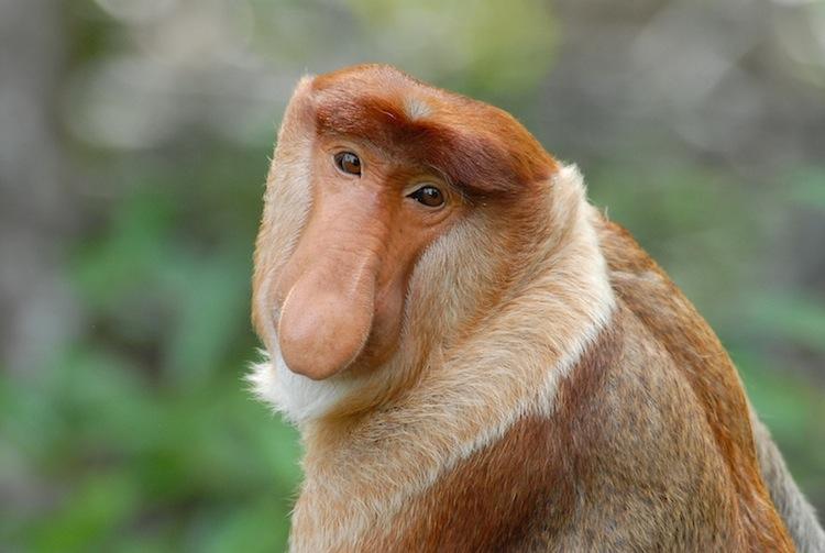 The MOJÖ FUN Proboscis monkey: A walkaround by Kikimalou Borneo_Sukau_1009-010.jpg_original