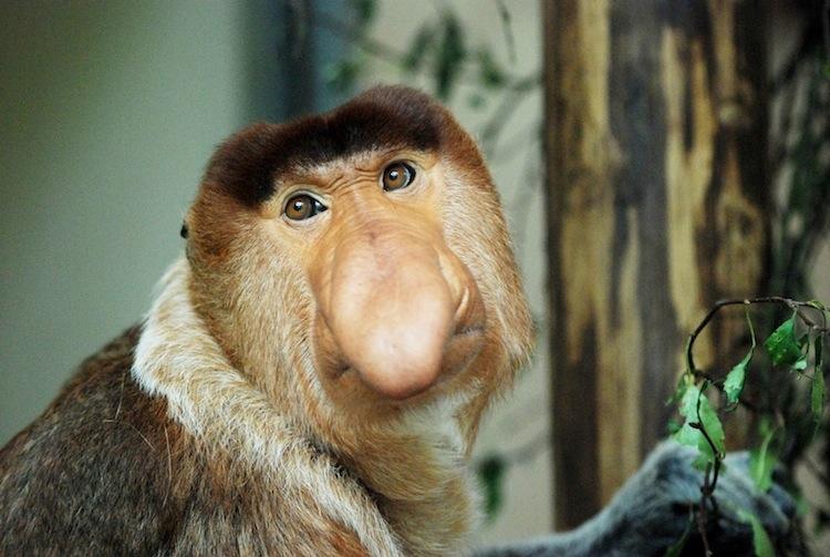 The MOJÖ FUN Proboscis monkey: A walkaround by Kikimalou Dsc_003913-188788.jpg_original