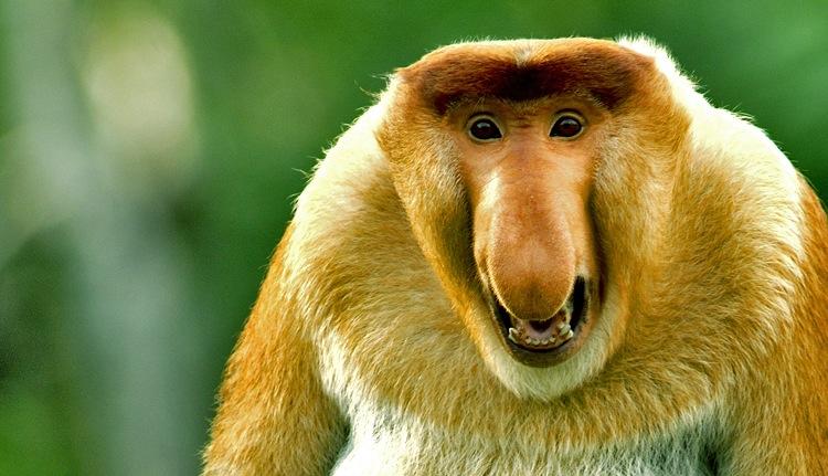 The MOJÖ FUN Proboscis monkey: A walkaround by Kikimalou Sukau_Proboscis_Monkey.jpg_original