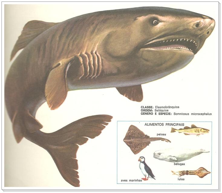 Tubarão Sonolento 006