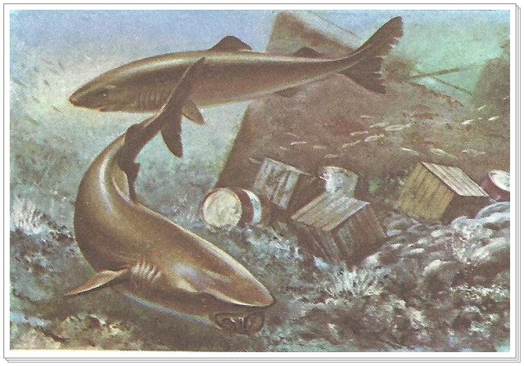 Tubarão Sonolento Image
