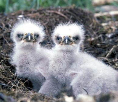 Hitler's Eagle's Nest Bald_Eagle_Chicks_on_Nest_1