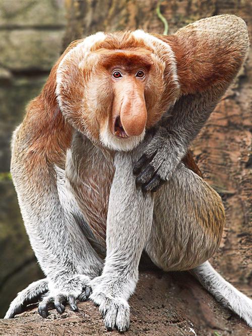 The MOJÖ FUN Proboscis monkey: A walkaround by Kikimalou Tumblr_mc5pkaq_N911rhe8jbo1_500.jpg_original