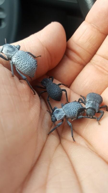 Loops Asbolus verrucosus – Desert Ironclad Beetle 20170114_163547